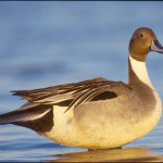 Cinnamon northern pintail